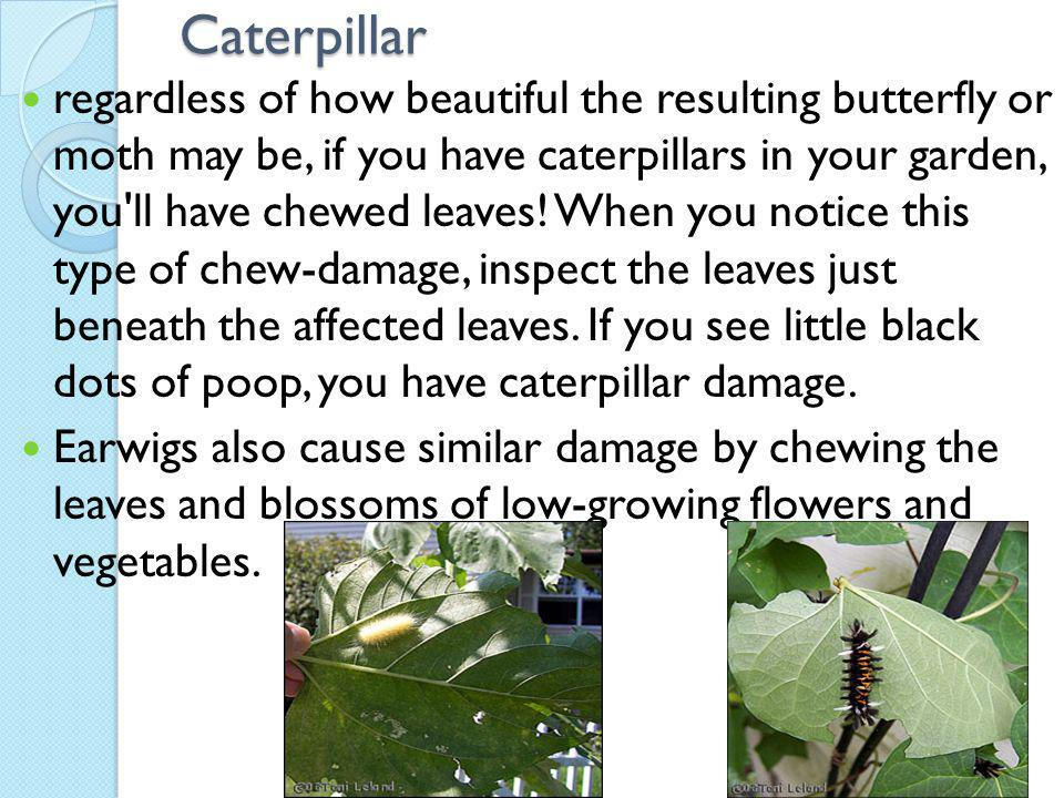 Caterpillar regardless of how beautiful the resulting butterfly or moth may be, if you have caterpillars in your garden, you ll have chewed leaves.