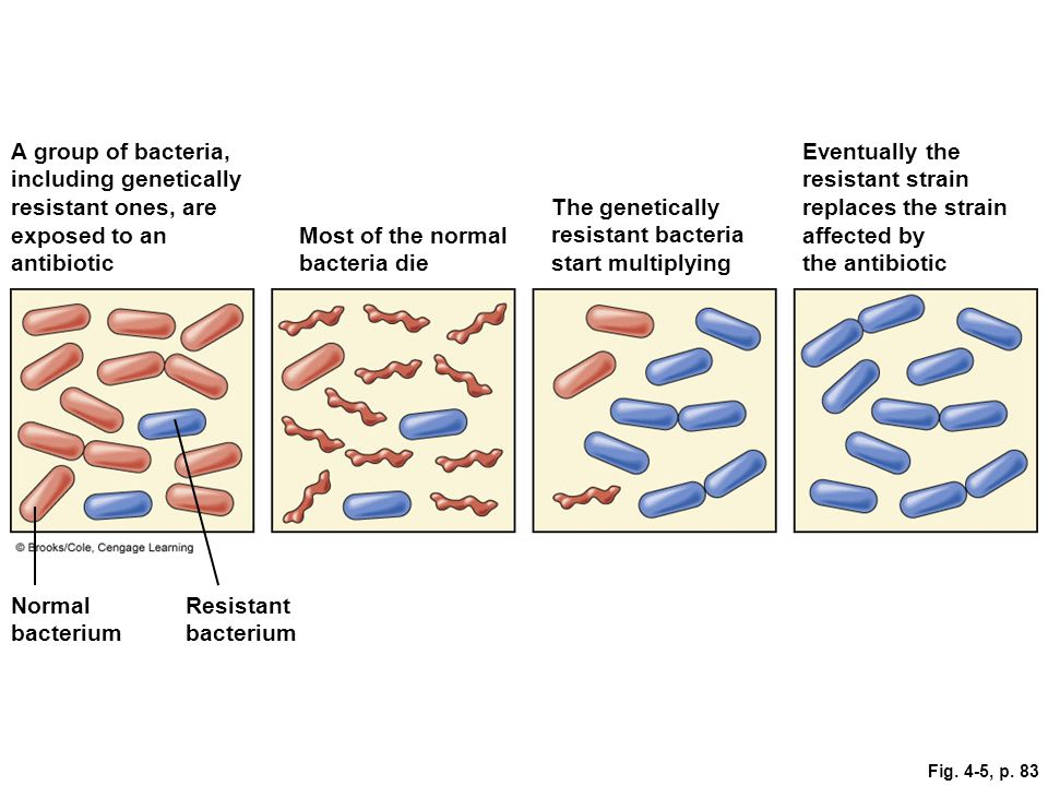 Fig. 4-5, p. 83 A group of bacteria, including genetically resistant ones, are exposed to an antibiotic Most of the normal bacteria die The geneticall
