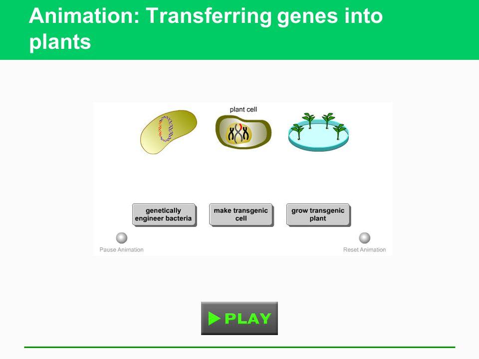 Animation: Transferring genes into plants