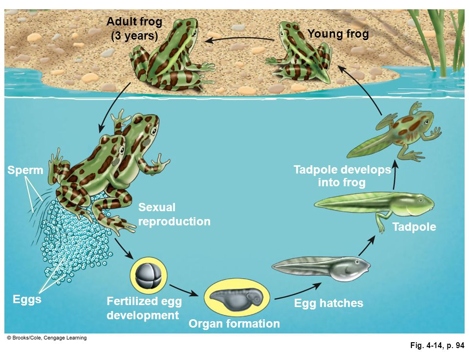 Fig. 4-14, p. 94 Sexual reproduction Adult frog (3 years) Young frog Tadpole develops into frog Tadpole Egg hatches Organ formation Fertilized egg dev