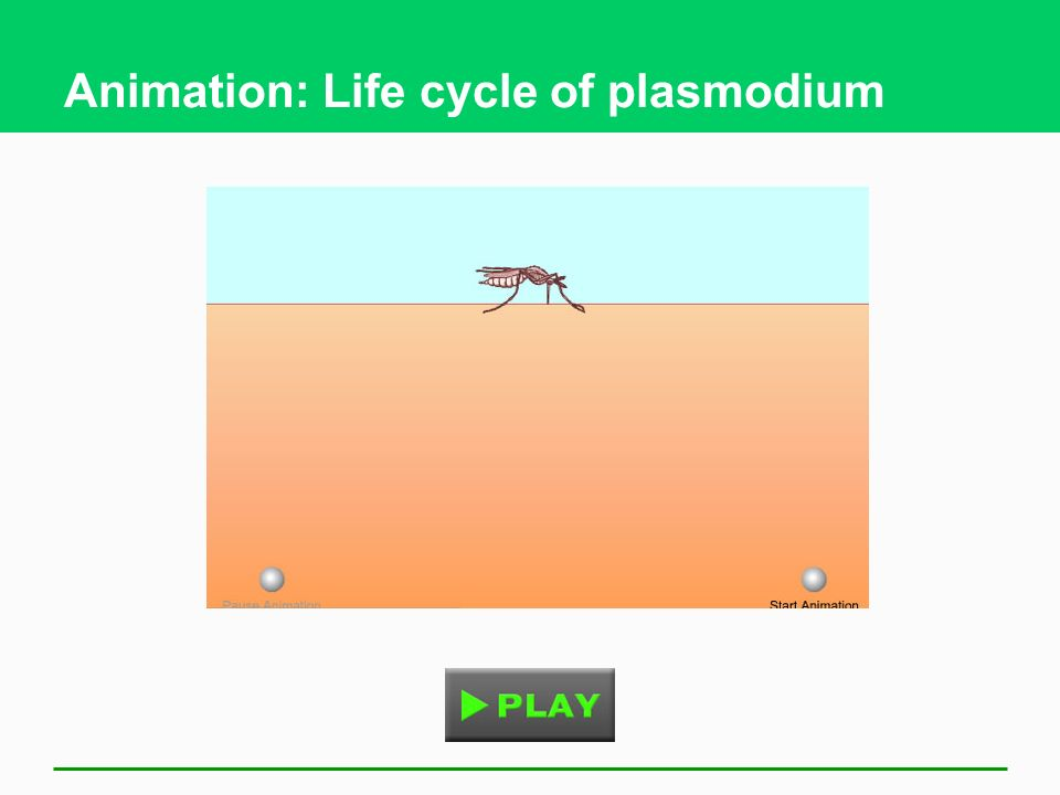 Animation: Life cycle of plasmodium