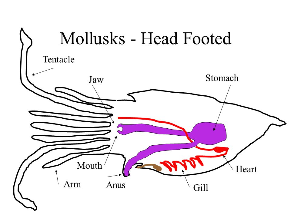 Mollusks - Head Footed Tentacle Arm Jaw Mouth Anus Stomach Heart Gill