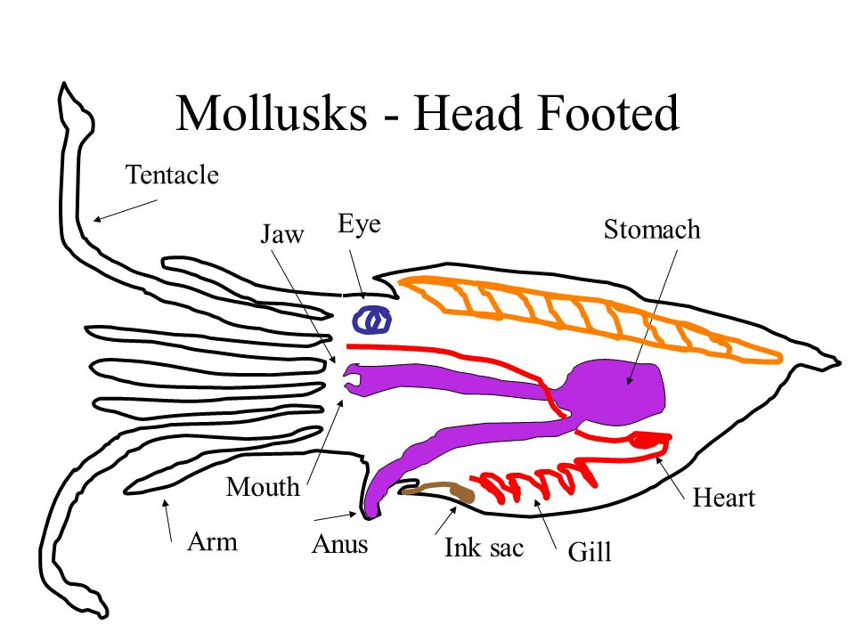 Mollusks - Head Footed Tentacle Arm Jaw Mouth Anus Stomach Heart Gill Ink sac Eye
