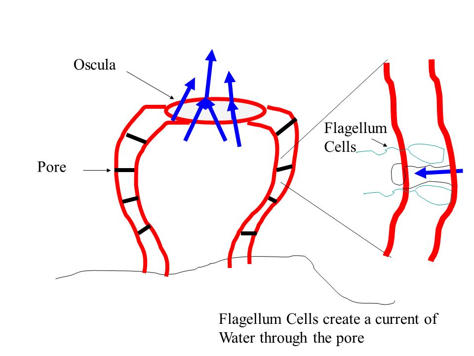 Pore Oscula Flagellum Cells create a current of Water through the pore Flagellum Cells