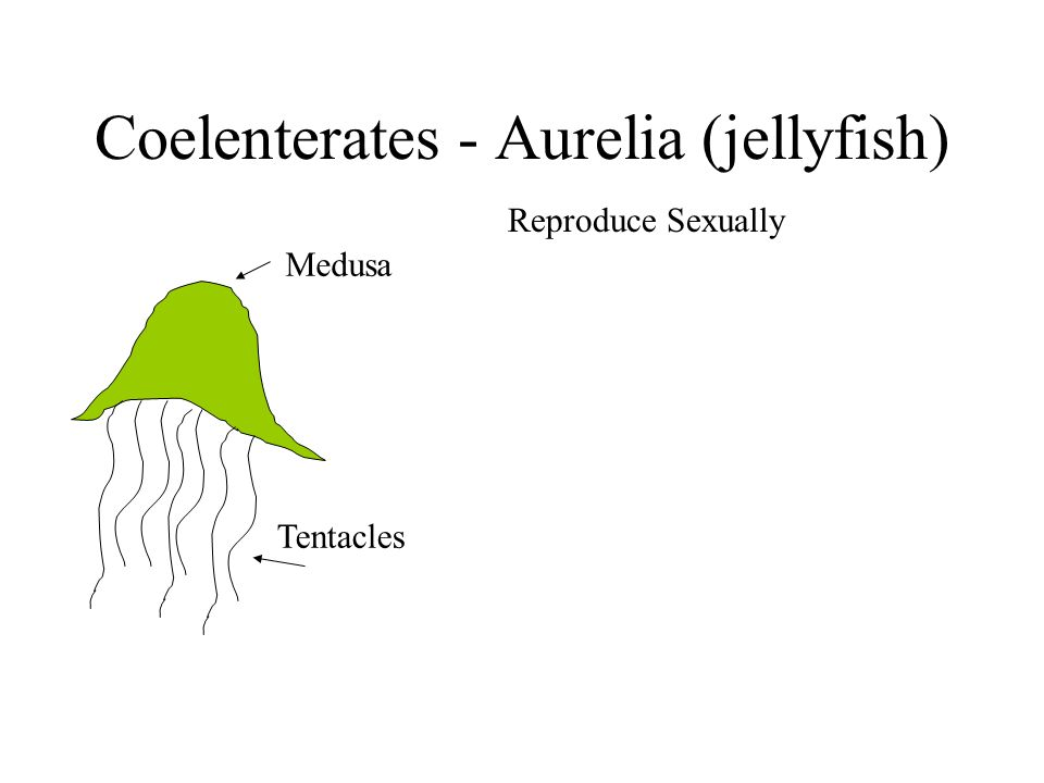 Coelenterates - Aurelia (jellyfish) Medusa Tentacles Reproduce Sexually