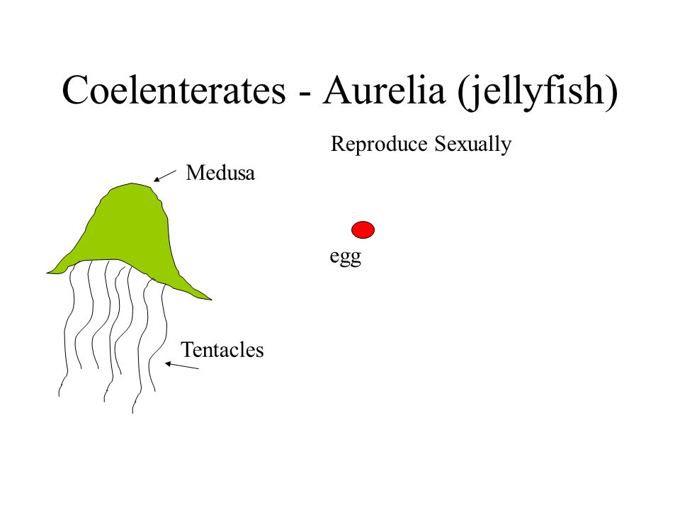 Coelenterates - Aurelia (jellyfish) Medusa Tentacles Reproduce Sexually egg