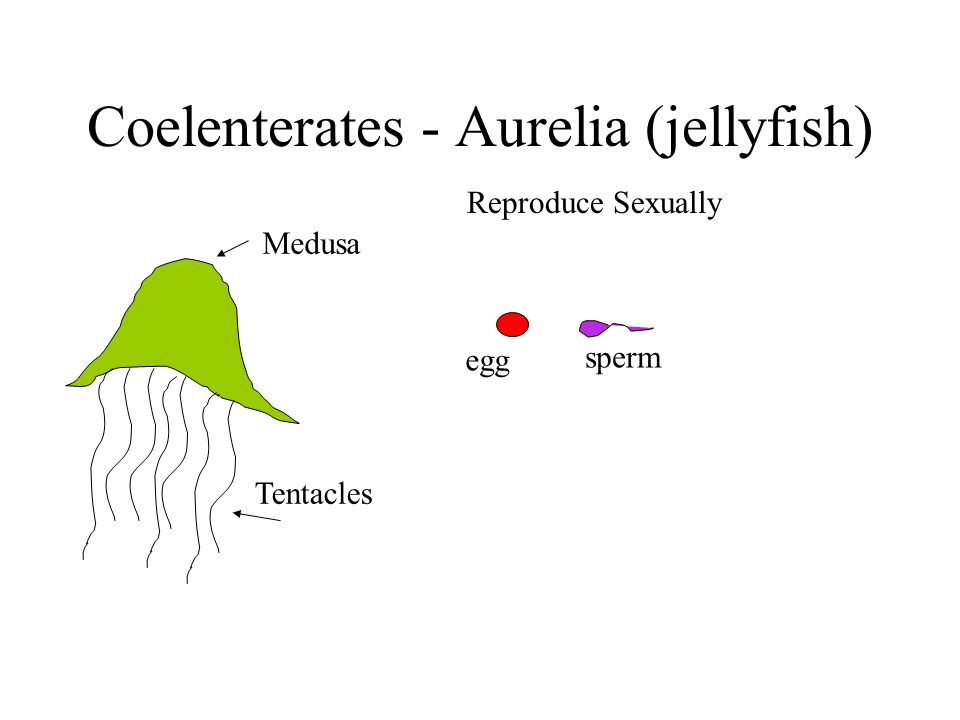 Coelenterates - Aurelia (jellyfish) Medusa Tentacles Reproduce Sexually egg sperm