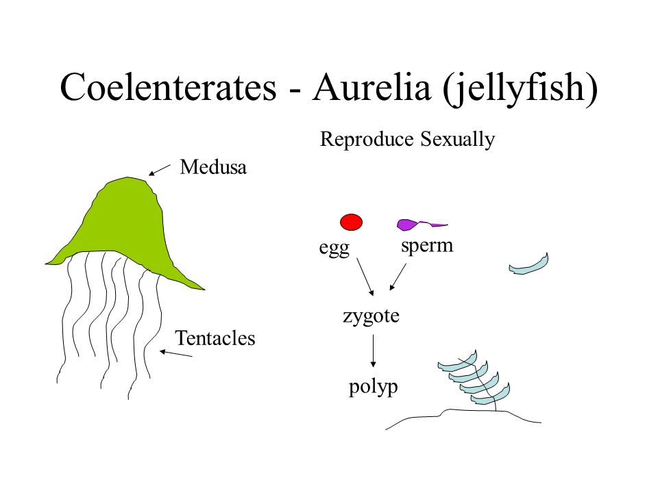 Coelenterates - Aurelia (jellyfish) Medusa Tentacles Reproduce Sexually egg sperm zygote polyp