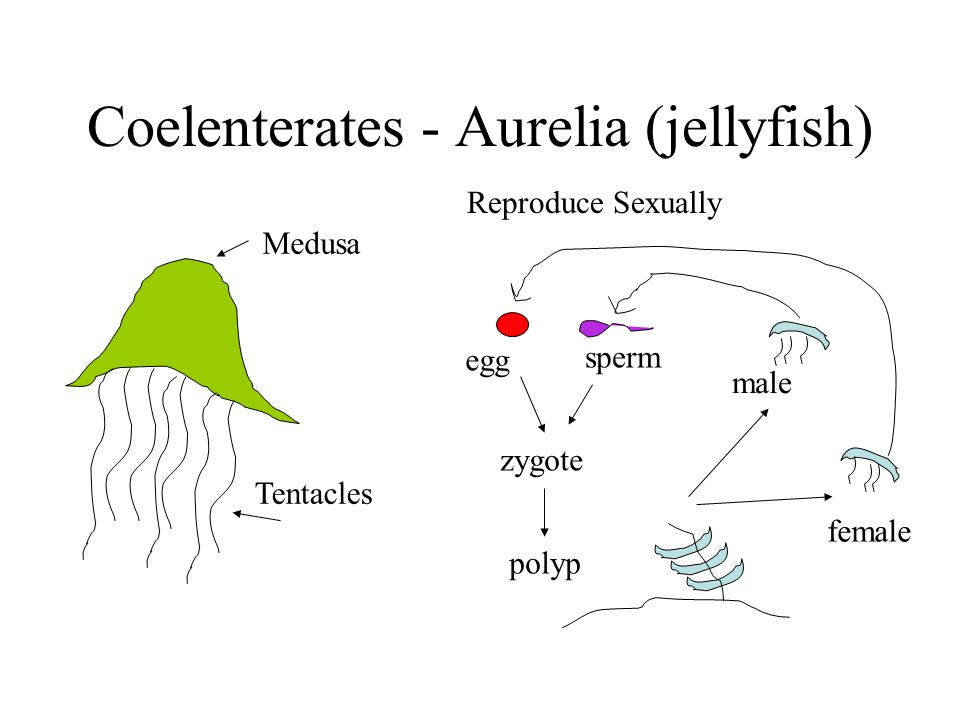 Coelenterates - Aurelia (jellyfish) Medusa Tentacles Reproduce Sexually egg sperm zygote polyp male female