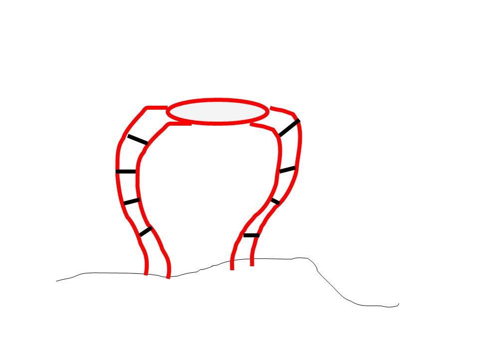 Annelid - Earthworm Intestine Gizzard Crop Mouth Blood Vessels
