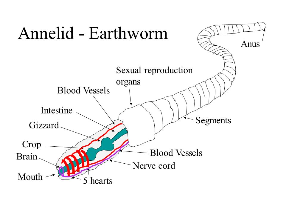 Annelid - Earthworm Intestine Gizzard Crop Mouth Blood Vessels 5 hearts Nerve cord Brain Sexual reproduction organs Anus Segments