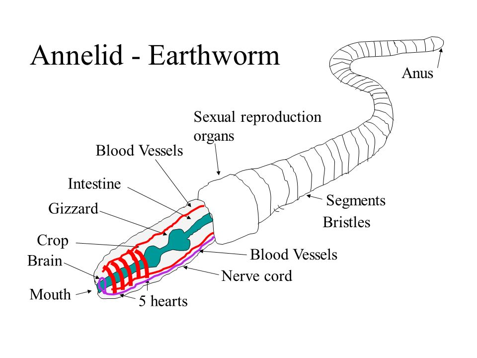 Annelid - Earthworm Intestine Gizzard Crop Mouth Blood Vessels 5 hearts Nerve cord Brain Sexual reproduction organs Anus Segments Bristles