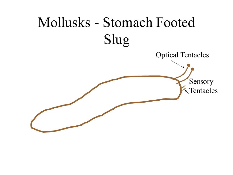 Mollusks - Stomach Footed Slug Optical Tentacles Sensory Tentacles