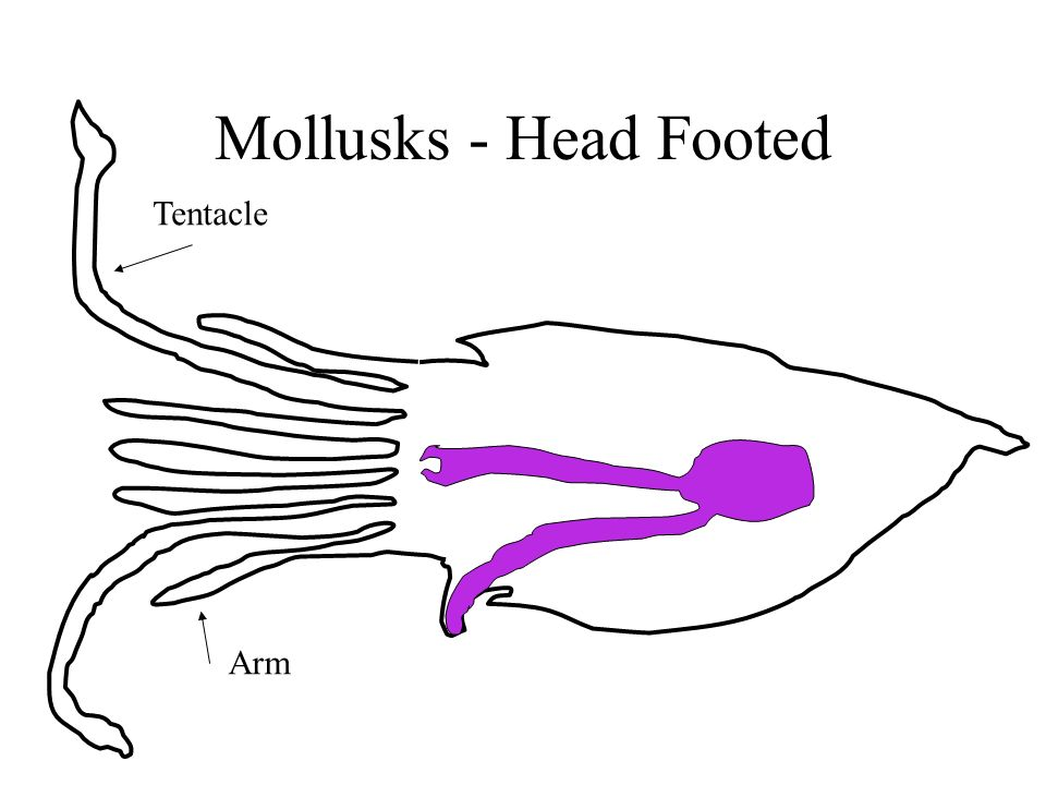 Mollusks - Head Footed Tentacle Arm