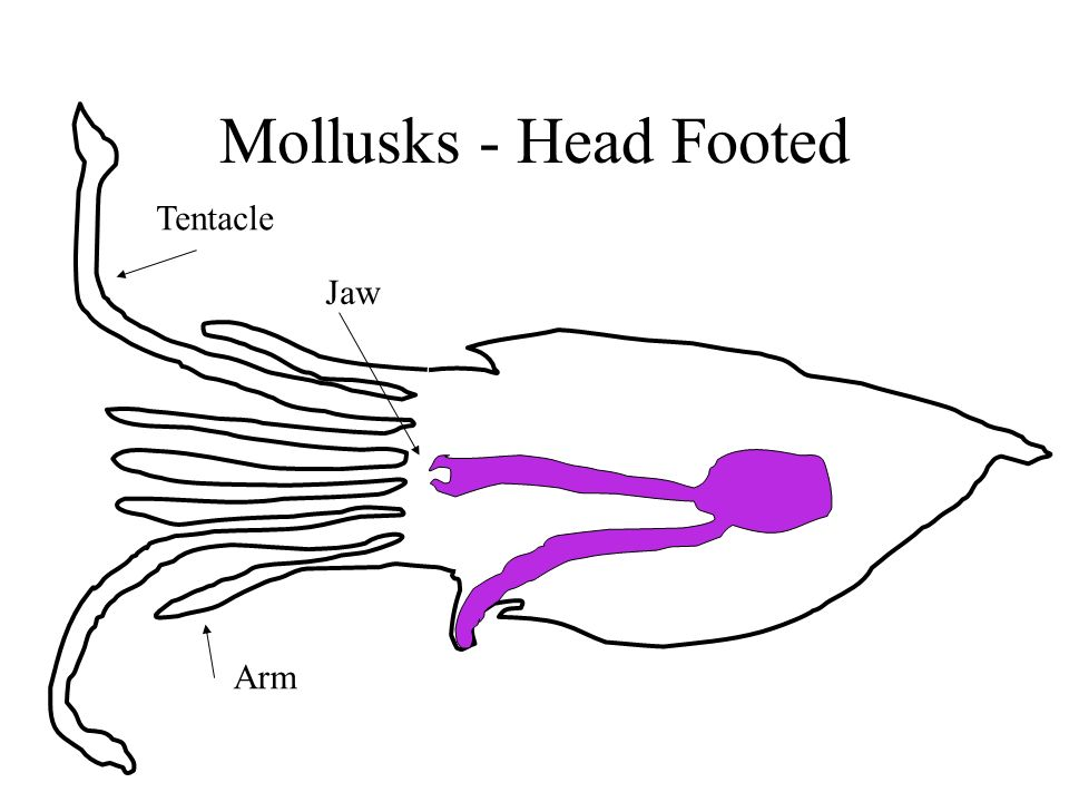 Mollusks - Head Footed Tentacle Arm Jaw
