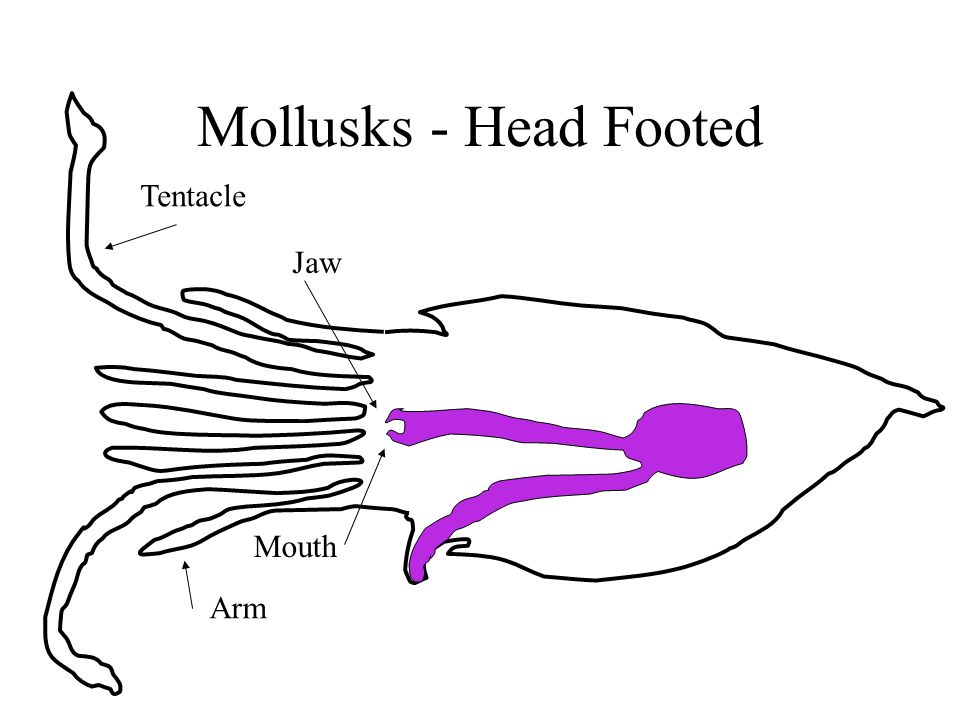 Mollusks - Head Footed Tentacle Arm Jaw Mouth
