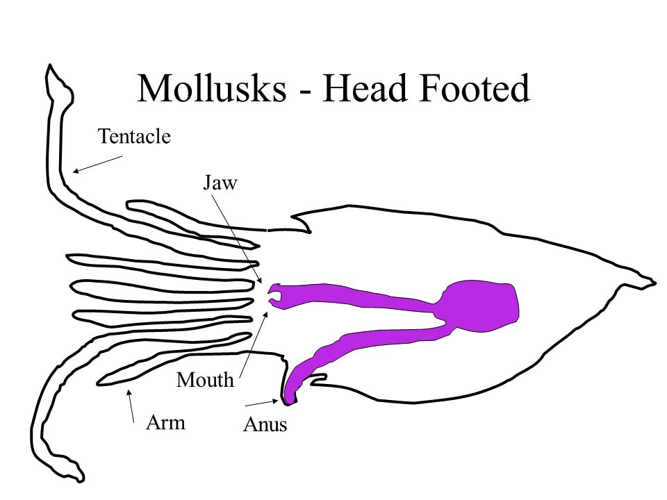 Mollusks - Head Footed Tentacle Arm Jaw Mouth Anus