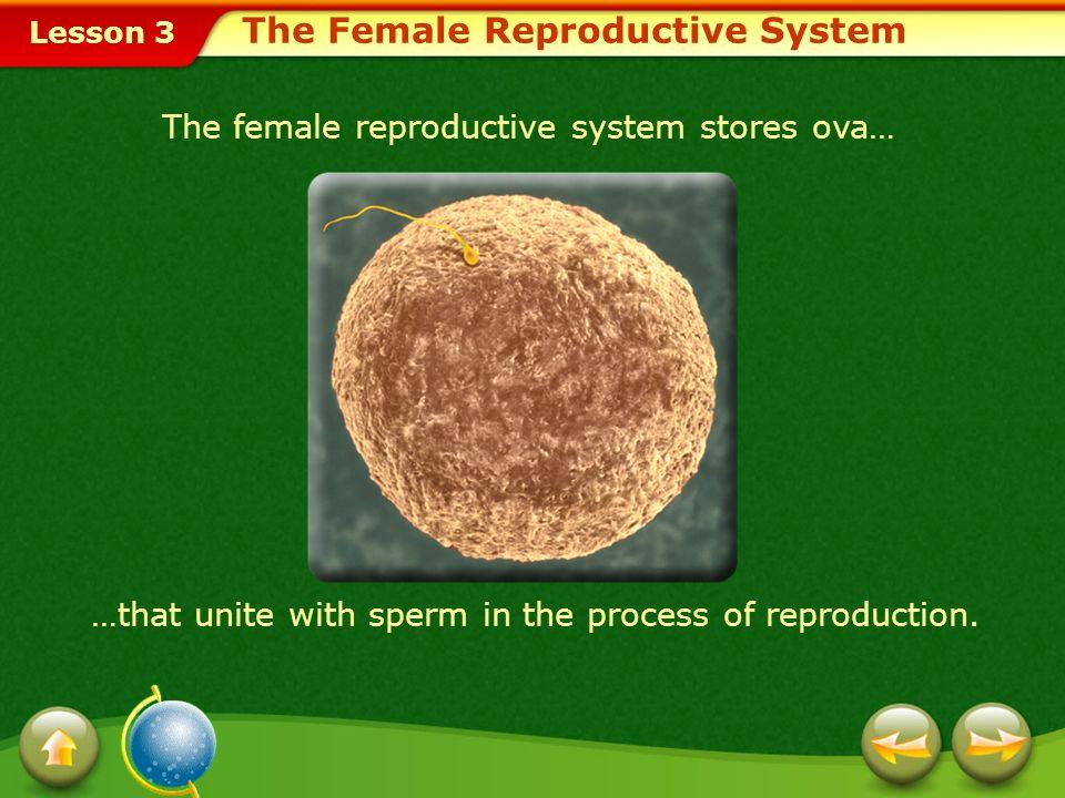 Lesson 3 1.ovum 2.vagina 3.cervix 4.uterus Choose the appropriate option.