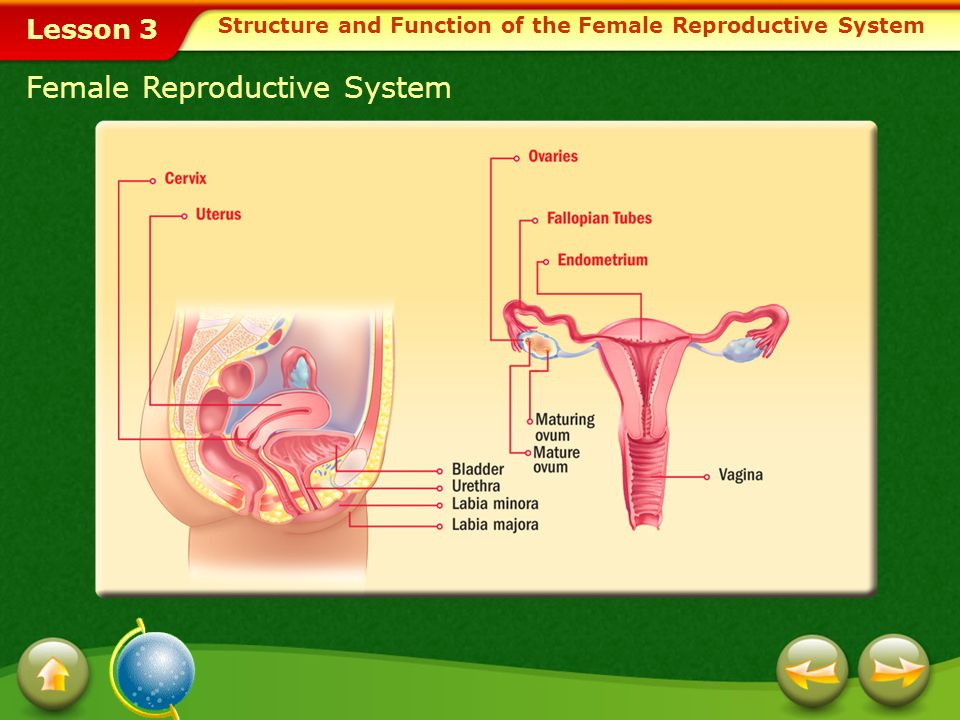 Lesson 3 Female Reproductive Organs When a mature ovum is released from the ovary, it moves to one of the fallopian tubes.fallopian tubes Tiny hairlik