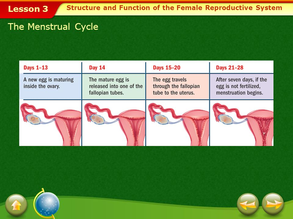 Lesson 3 Menstruation In a mature female, each month the uterus prepares for possible pregnancy. If pregnancy doesnt occur, the thickened lining of th
