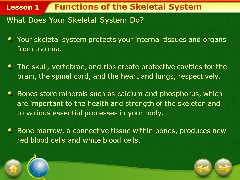 Lesson 1 Identify the functions of the skeletal system. Describe the main divisions and types of bones of the skeletal system. Recognize how understan