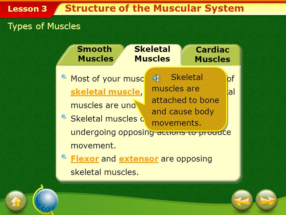 Lesson 3 Smooth Muscles Skeletal Muscles Cardiac Muscles Smooth musclesSmooth muscles can be found in the lining of the blood vessels, the digestive t