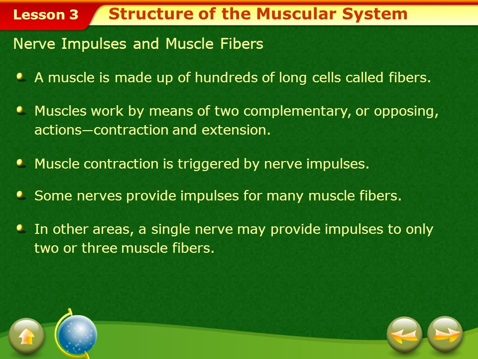 Lesson 3 Nerve Impulses and Muscle Fibers A muscle is made up of hundreds of long cells called fibers.