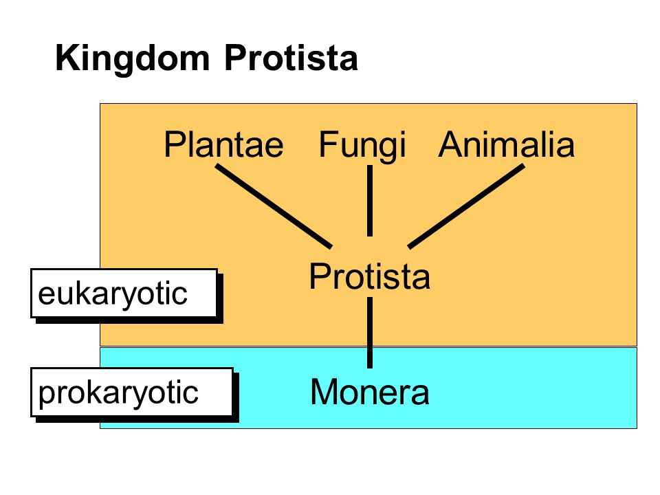 Kingdom Protista Plantae Fungi Animalia Protista Monera prokaryotic eukaryotic