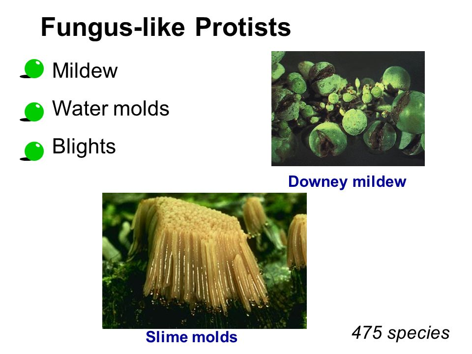 Fungus-like Protists 475 species Downey mildew Slime molds Mildew Water molds Blights
