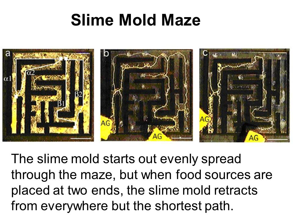 Slime Mold Maze The slime mold starts out evenly spread through the maze, but when food sources are placed at two ends, the slime mold retracts from e