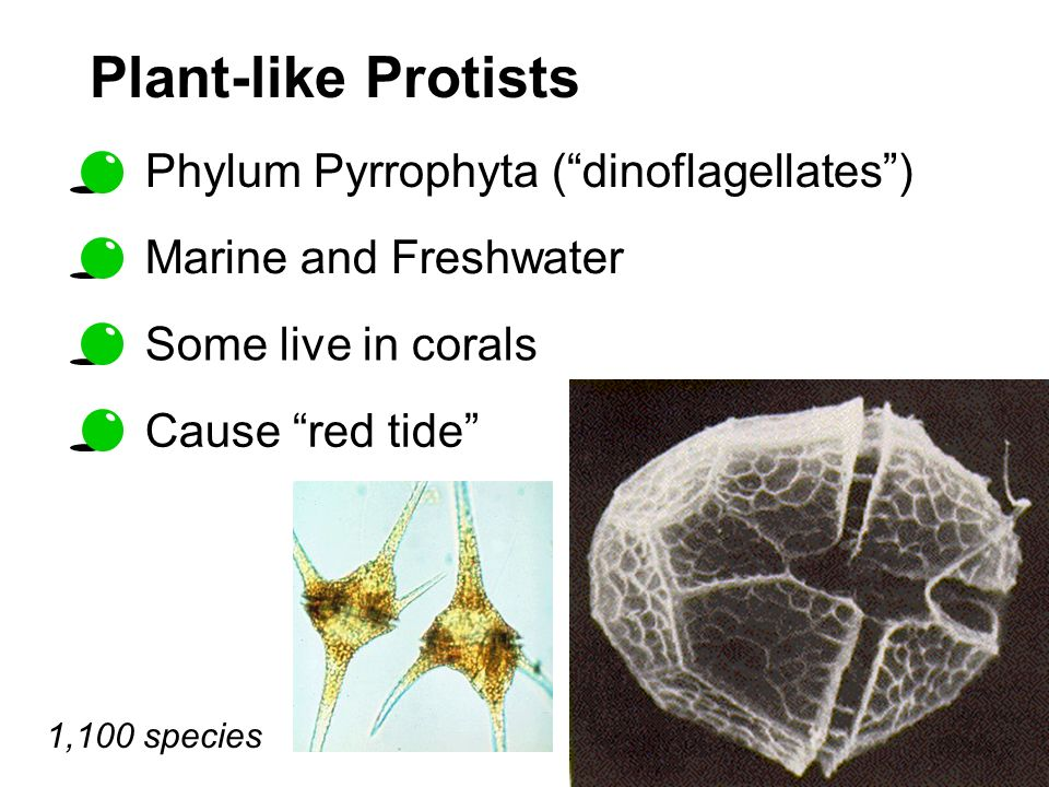 Plant-like Protists Phylum Pyrrophyta (dinoflagellates) 1,100 species Cause red tide Some live in corals Marine and Freshwater