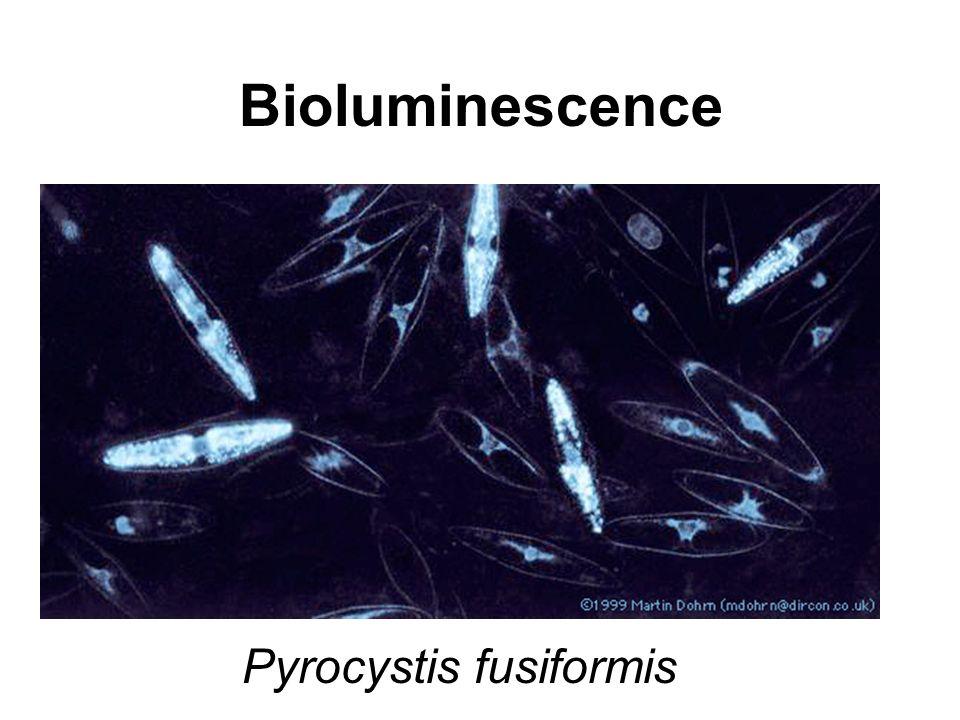 Pyrocystis fusiformis Bioluminescence