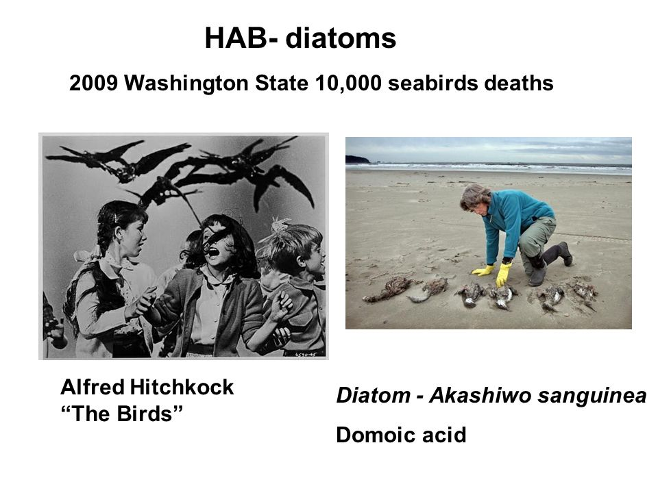 Diatom - Akashiwo sanguinea Domoic acid 2009 Washington State 10,000 seabirds deaths Alfred Hitchkock The Birds HAB- diatoms