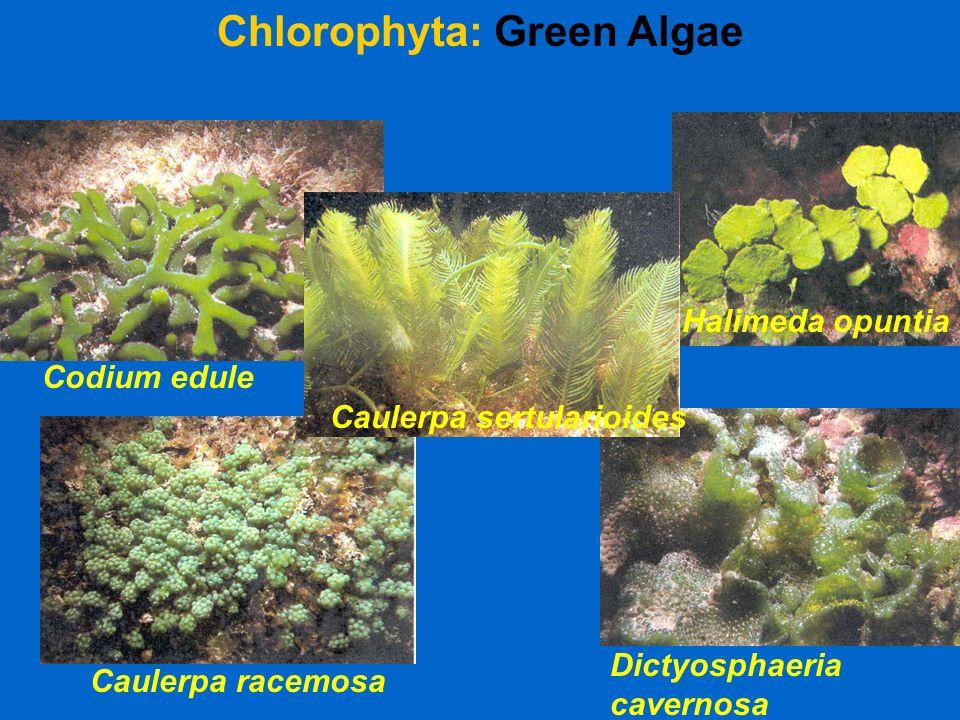 Halimeda opuntia Chlorophyta: Green Algae Caulerpa racemosa Caulerpa sertularioides Dictyosphaeria cavernosa Codium edule