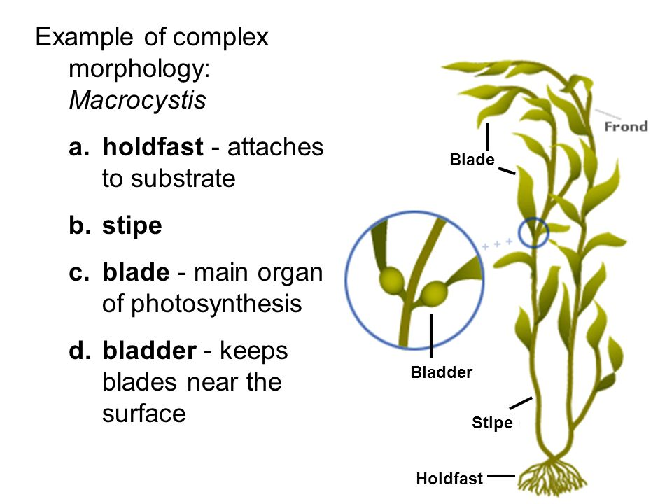 Example of complex morphology: Macrocystis a.holdfast - attaches to substrate b.stipe c.blade - main organ of photosynthesis d.bladder - keeps blades