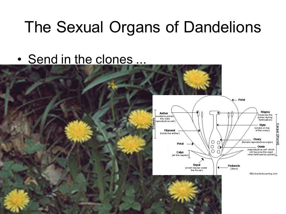 The Sexual Organs of Dandelions Send in the clones...