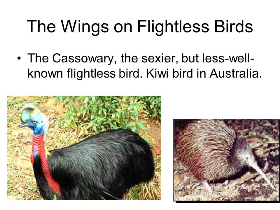 The Wings on Flightless Birds The Cassowary, the sexier, but less-well- known flightless bird. Kiwi bird in Australia.