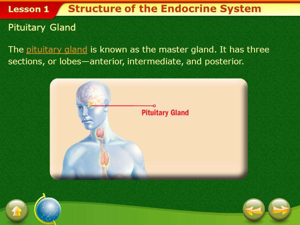 Lesson 1 Some Glands of the Endocrine System Thyroid gland Parathyroid glands Hypothalamus Pineal Gland Testes and Ovaries Thymus Gland Pancreas Struc