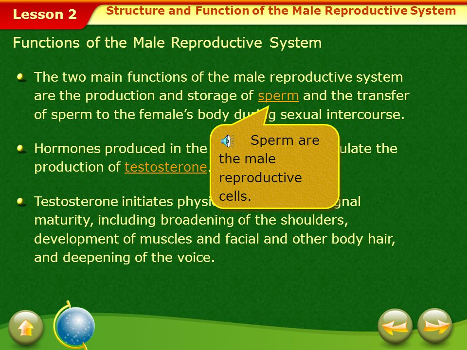 Lesson 2 In humans, as in many other animal species, reproduction results from the union of two specialized sex cellsone from the male and one from th