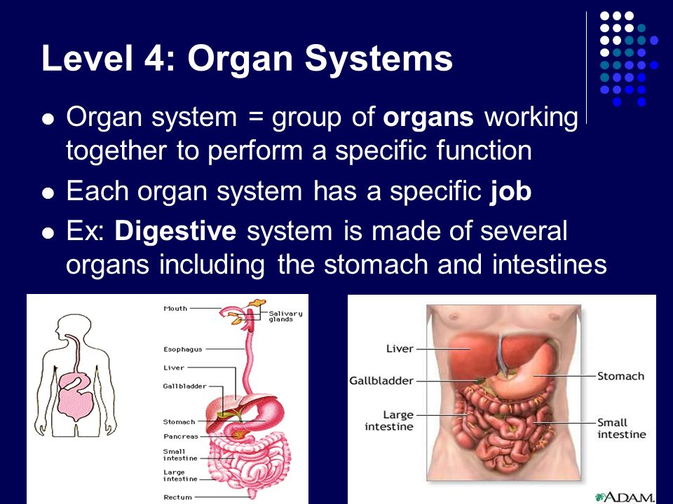 Level 4: Organ Systems Organ system = group of organs working together to perform a specific function Each organ system has a specific job Ex: Digesti