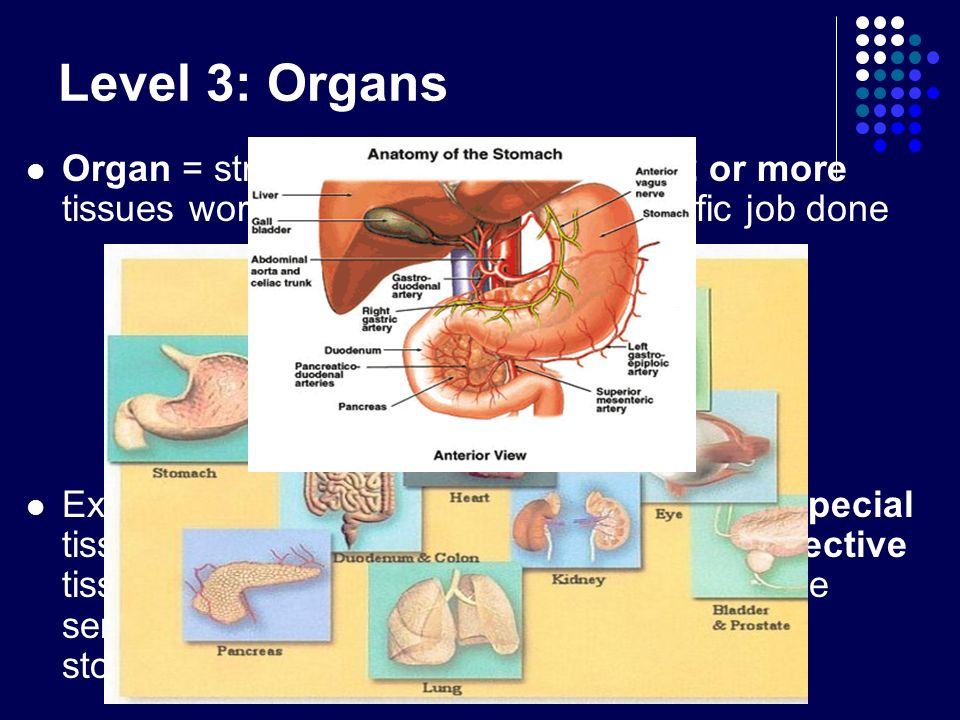 Level 3: Organs Organ = structure that is made up of 2 or more tissues working together to get a specific job done Ex: Stomach – muscle tissue moves f