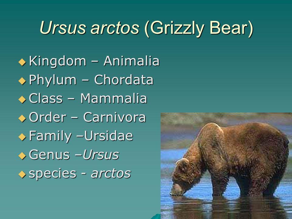 10 Ursus arctos (Grizzly Bear) Kingdom – Animalia Kingdom – Animalia Phylum – Chordata Phylum – Chordata Class – Mammalia Class – Mammalia Order – Car