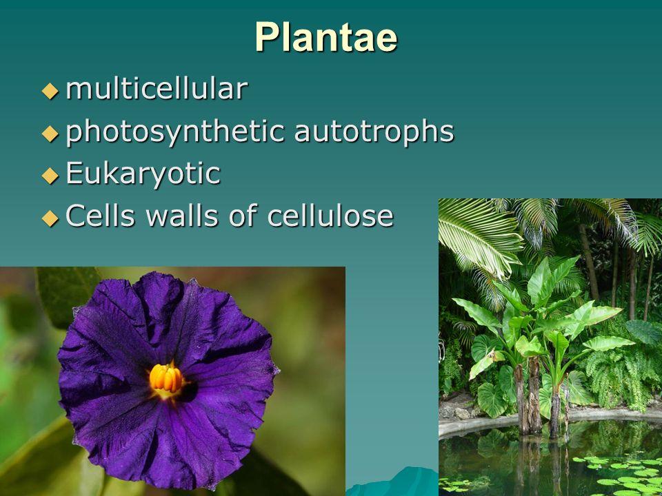 30 Plantae multicellular multicellular photosynthetic autotrophs photosynthetic autotrophs Eukaryotic Eukaryotic Cells walls of cellulose Cells walls