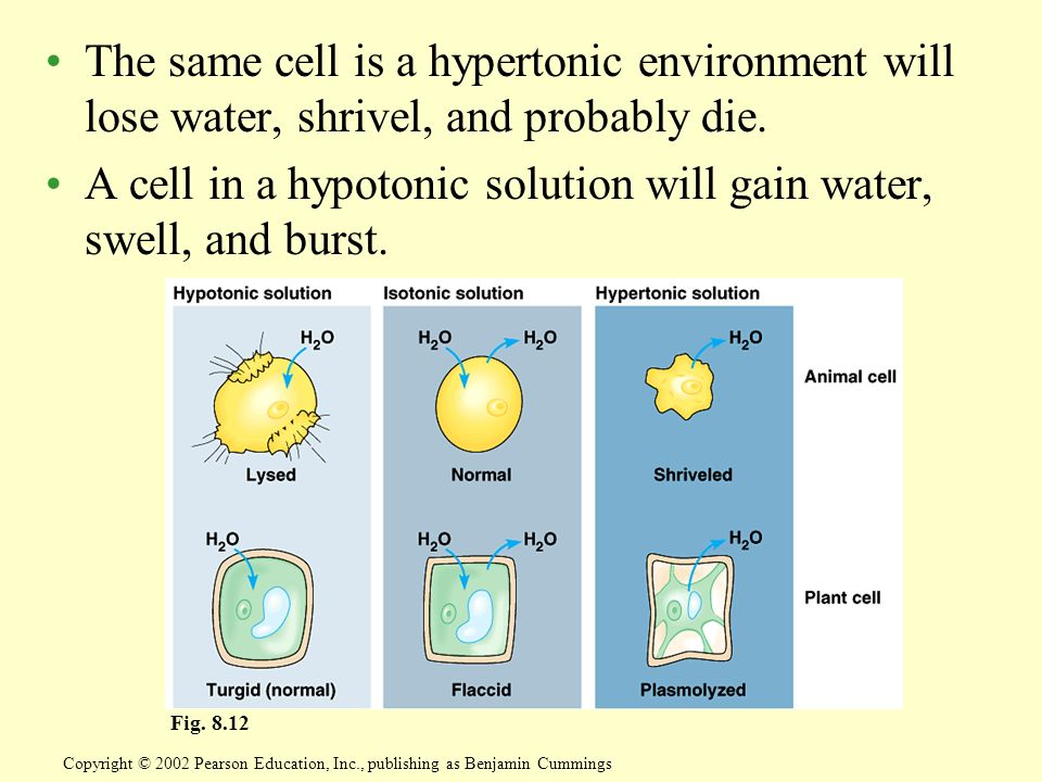The same cell is a hypertonic environment will lose water, shrivel, and probably die. A cell in a hypotonic solution will gain water, swell, and burst