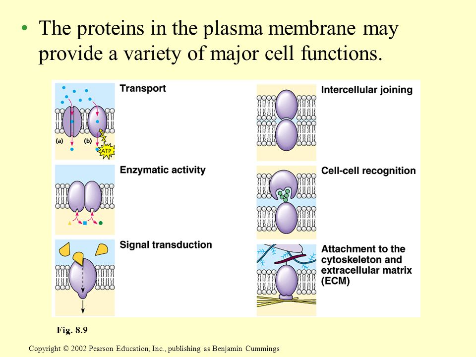 The proteins in the plasma membrane may provide a variety of major cell functions. Copyright © 2002 Pearson Education, Inc., publishing as Benjamin Cu