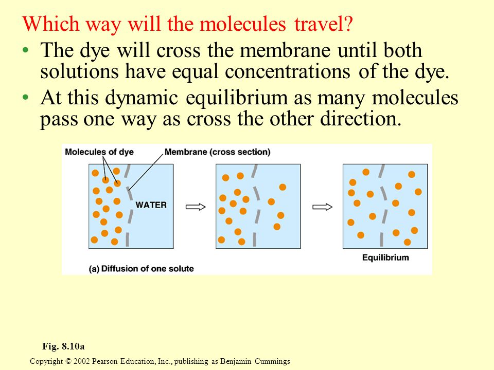Which way will the molecules travel? The dye will cross the membrane until both solutions have equal concentrations of the dye. At this dynamic equili