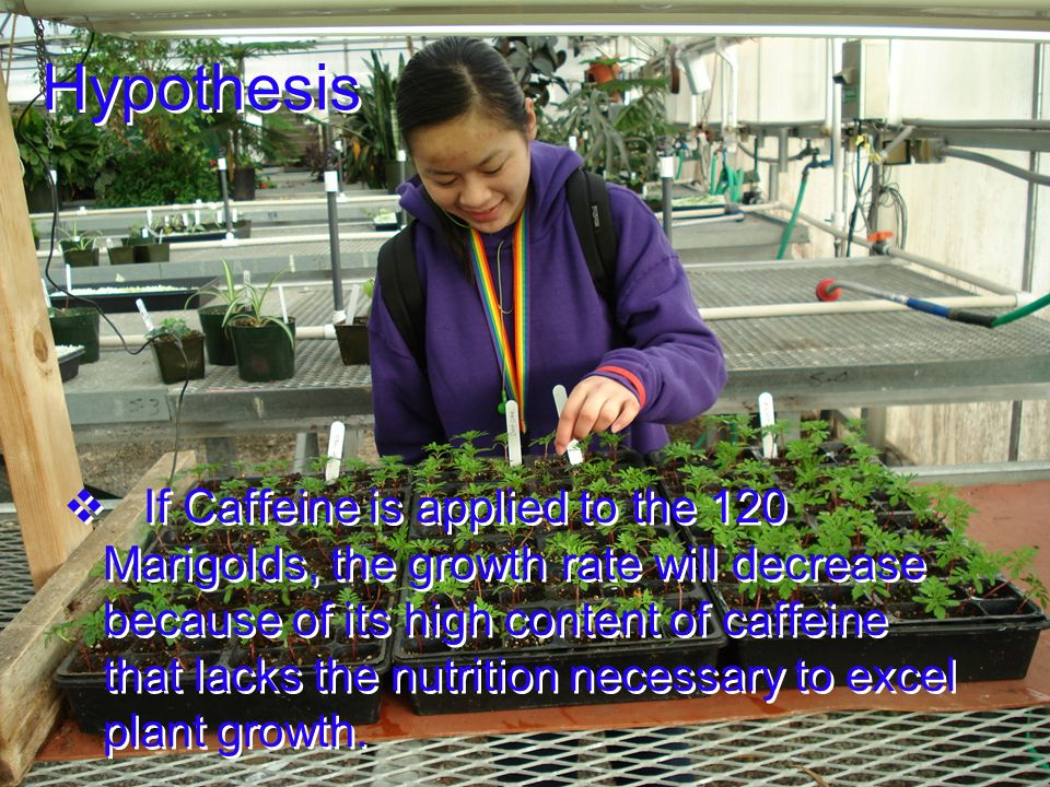 Hypothesis If Caffeine is applied to the 120 Marigolds, the growth rate will decrease because of its high content of caffeine that lacks the nutrition