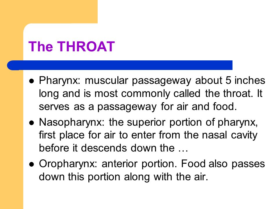 The THROAT Pharynx: muscular passageway about 5 inches long and is most commonly called the throat. It serves as a passageway for air and food. Nasoph