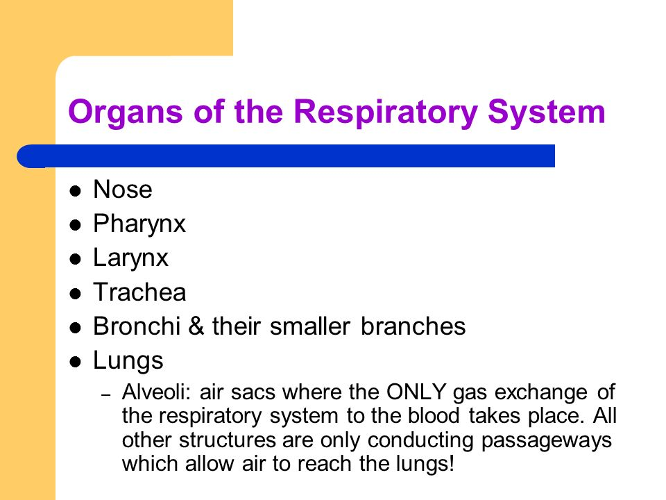 Organs of the Respiratory System Nose Pharynx Larynx Trachea Bronchi & their smaller branches Lungs – Alveoli: air sacs where the ONLY gas exchange of