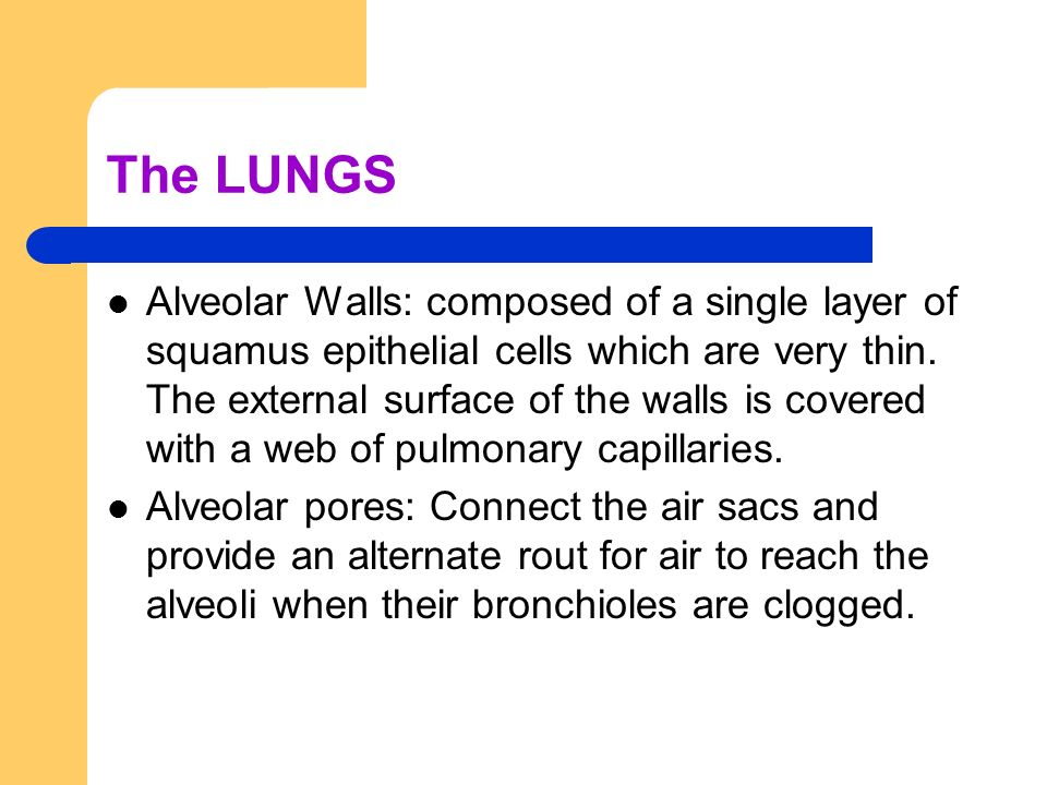 The LUNGS Alveolar Walls: composed of a single layer of squamus epithelial cells which are very thin. The external surface of the walls is covered wit
